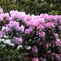 Plantencollecties - Rododendrons